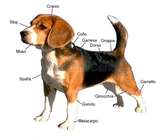 morfologia cane