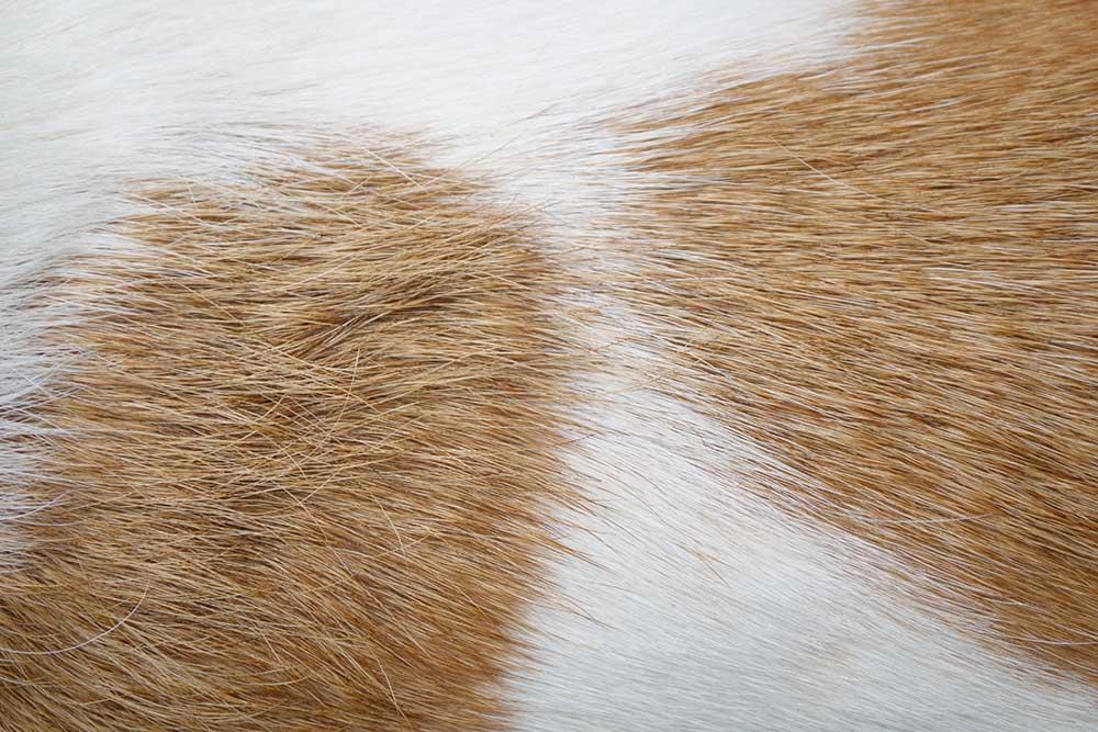 pelle cane