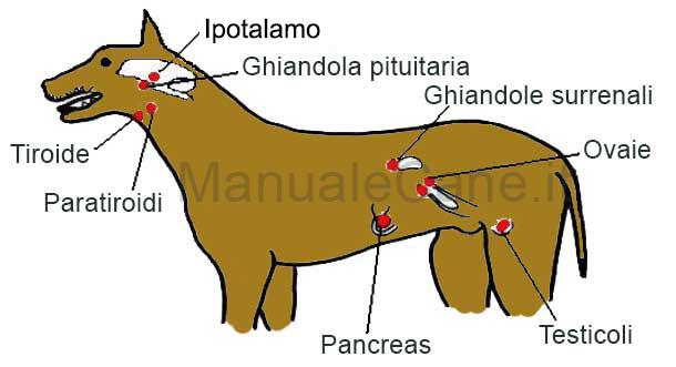 aparato endocrino cane